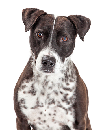 spotted dog: Beautiful large crossbreed dog with white and black spotted fur looking forward into camera Stock Photo
