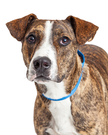 brindle: Portrait of a Pit Bull mixed breed dog with a brown brindle coat