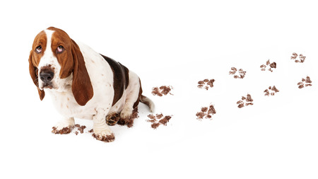 Dog with guilty expression and muddy paws tracks dirt on white floor Banque d'images
