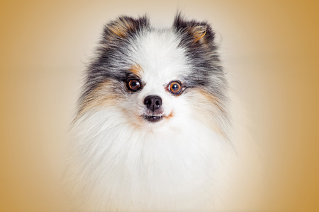 lapdog: Closeup of pretty Pomeranian breed dog looking forward into camera Stock Photo