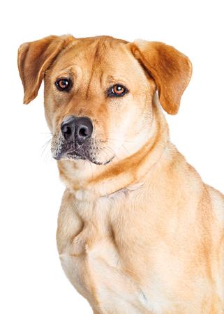 Ampliación De Labrador Retriever Negro Y Pit Bull Perro De