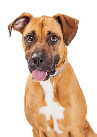 breed: Large Great Dane and Boxer crossbreed dog with a happy and playful expression
