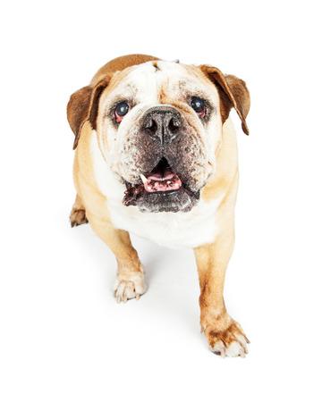 old english: Old blind English Bulldog breed dog walking forward looking up