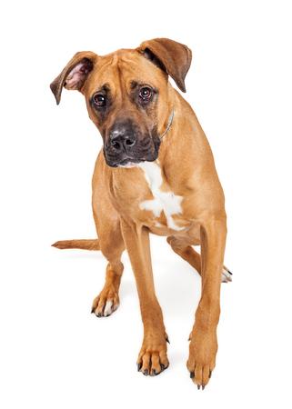 great dane: Cute mixed large breed dog walking forward on a white studio background
