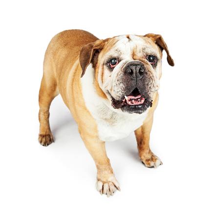 old english: Old blind purebred English Bulldog standing on white studio background