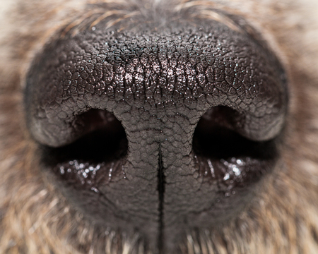 Closeup photo of texture on a dog's nose
