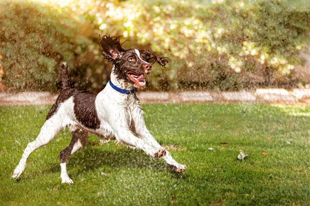 Gelukkige en actieve natte hond die op zomermorgen door sprinklers in de achtertuin loopt