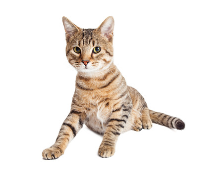 fullbody: Pretty young brown and black striped tabby cat over white