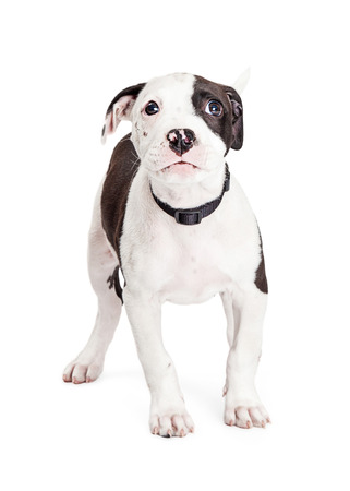 apologetic: Cute Pit Bull Puppy with guilty expression and sad eyes