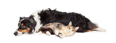 Large dog and tabby cat laying together on white background