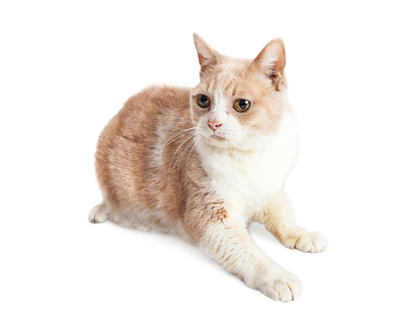 fullbody: Attentive cat with light color fur laying on white background looking to side