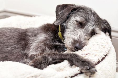 Terrier dog asleep on ivory color dog bed
