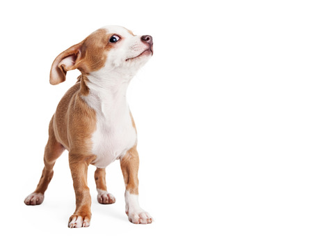lapdog: Funny little puppy with playful expression. Isolated on white with copy space.