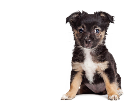 looking forward: Cute mixed breed terrier puppy sitting looking forward Stock Photo