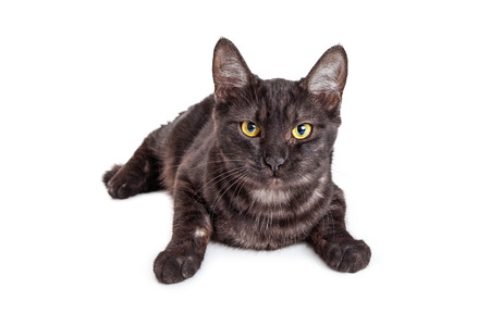laying forward: Cute black and grey color tabby kitten laying over white looking forward