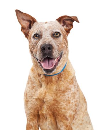 red heeler: Closeup of happy Red Heeler mixed breed dog Stock Photo