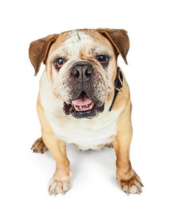old english: Old blind purebred English Bulldog Stock Photo