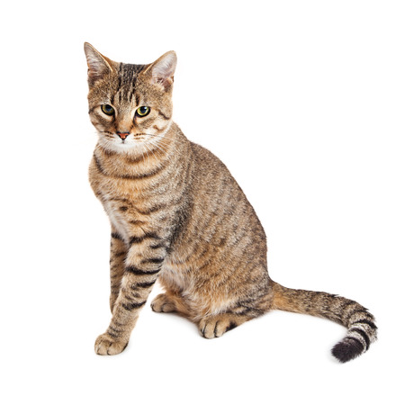 fullbody: Pretty brown and black striped tabby cat sitting on white looking down