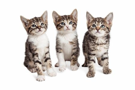 white cat: Three little striped kittens together over white background