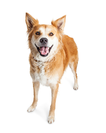Cute tan color medium size dog with happy and smiling expression standing over white