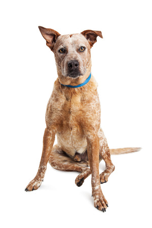 sit on studio: Large red Heeler crossbreed dog sitting looking forward Stock Photo