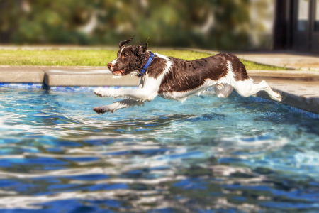 springer: Springer Spaniel dog jumping into swimming pool . Photo in mid-air with legs extended. Stock Photo