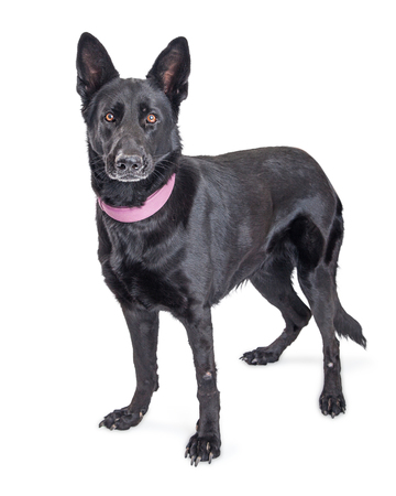Beautiful large black German Shepherd mixed breed dog standing over white looking forward into camera