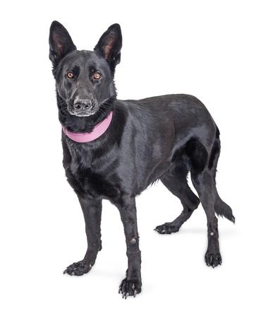 Pastor alemán hermoso gran perro de raza mixta negro sobre blanco de pie mirando hacia adelante a la cámara
