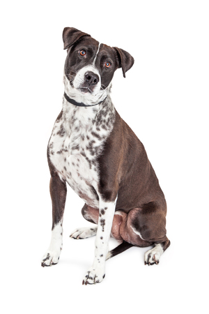 medium size: Beautiful black and white color mixed breed medium size dog sitting on white background tilting head