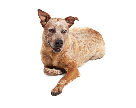 red heeler: Red heeler crossbreed dog laying on white background Stock Photo