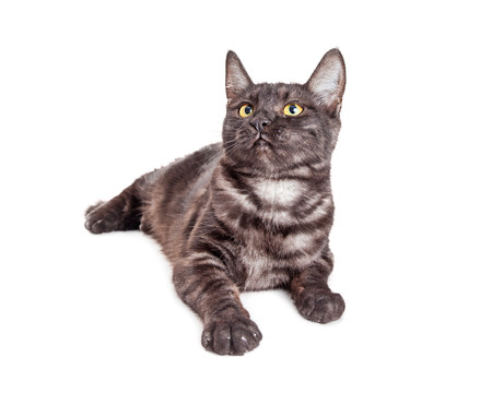 grey tabby: Cute young black and grey tabby kitten laying on white background looking up