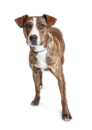brindle: Pit Bull crossbreed dog with brindle coat standing over white background looking into camera Stock Photo