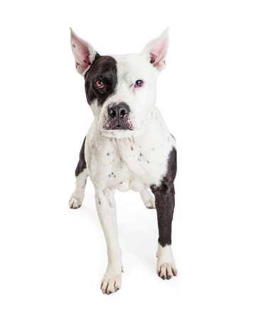black and white pit bull: Attentive American Stoffordshire Pit Bull dog with white and black fur looking forward into camera