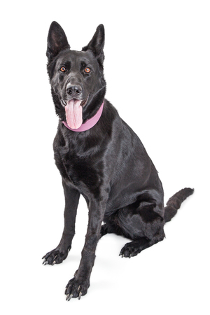 panting: Large black mixed breed dog with tongue out panting