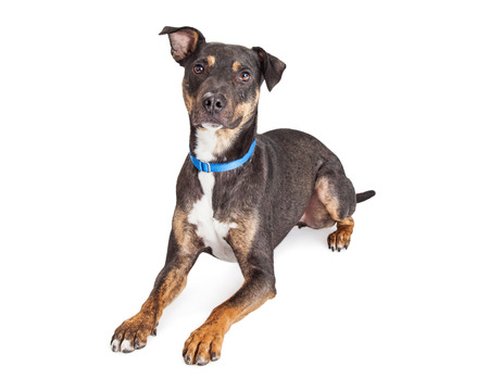 obedient: Obedient medium-sized mixed breed black and brown dog laying over white