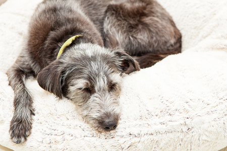 Cane dell'incrocio di Terrier che dorme sul letto del cane di colore dell'avorio con lo spazio della copia