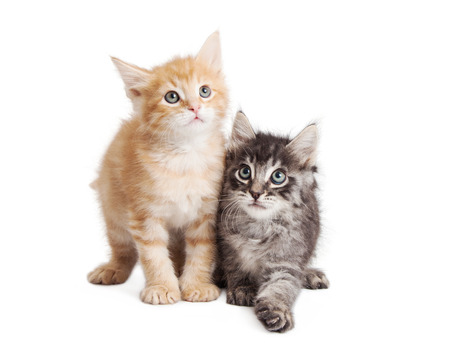 white playful: Cute little playful tabby kittens together over white Stock Photo