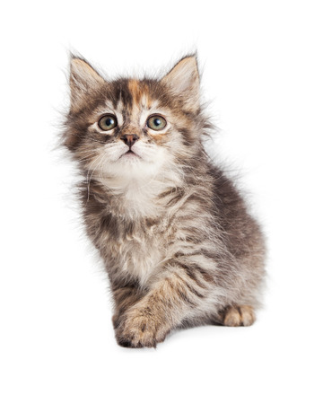 white playful: Curious and playful little tabby kitten on white Stock Photo