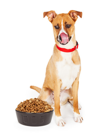 heaping: Large crossbreed dog sitting looking down at large heaping bowl of dry kibble food