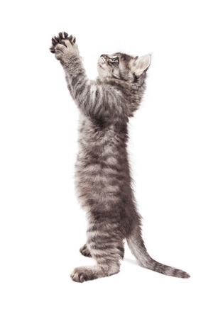 Side view of cute kitten standing up on hind legs stretching paws up in prayer position