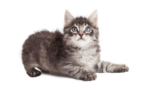 grey tabby: Cute little black and grey tabby kitten laying to side on white while looking up Stock Photo