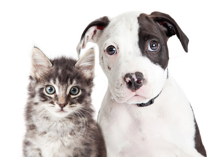 Closeup portrait of cute black and white young puppy and kitten together looking into camera 版權商用圖片