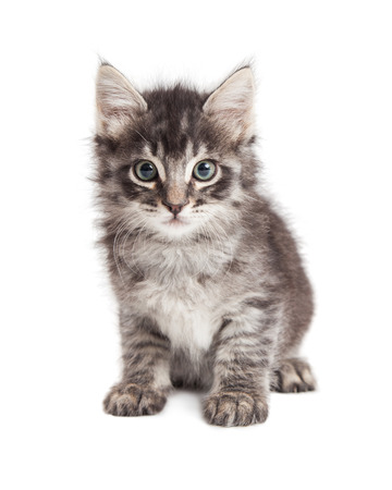 sit on studio: Adorable little long hair black and grey tabby kitten sitting on white Stock Photo