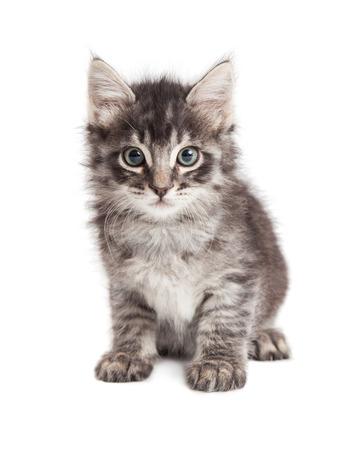 grey tabby: Adorable little long hair black and grey tabby kitten sitting on white Stock Photo