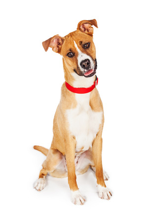 sit on studio: Friendly and happy tan and white color crossbreed dog sitting looking down