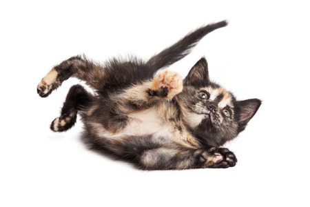 white playful: Cute little playful tortie breed kitten laying on side over white background Stock Photo