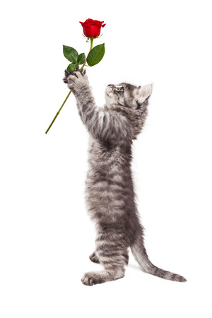 humor: Cute kitten standing up handing a rose to to a large Mastiff breed dog. Isolated on white.