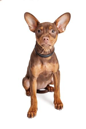 Carino piccolo Chihuahua cane di razza mista seduta su bianco Archivio Fotografico - 57546275