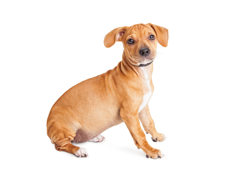 small dog: Cute mixed Chihuahua and Dachshund crossbreed dog sitting to side over white Stock Photo