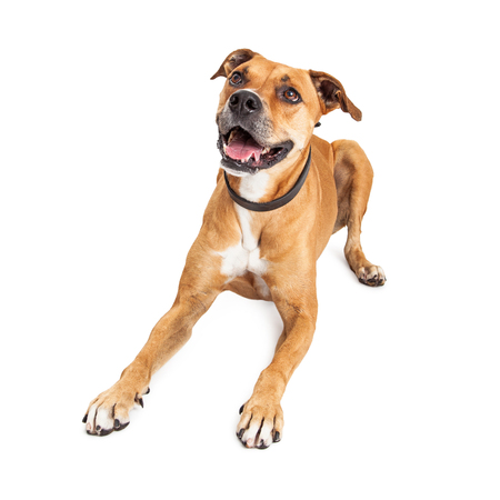 large dog: Happy and smiling large Boxer crossbreed dog lying down on white background looking up Stock Photo